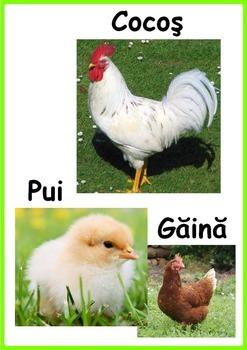 Pasari domestice-Farm Birds (Romanian)