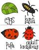 Ladybug Life Cycle: Reader, Worksheets, and Flash Cards