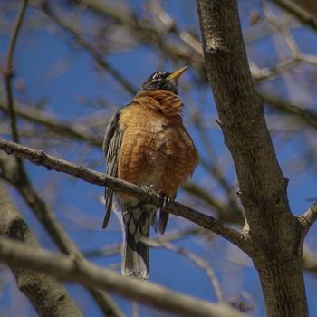 "Stock Photo -  ""BIRD: American Robin"" - Photograph - Arts & Pix"