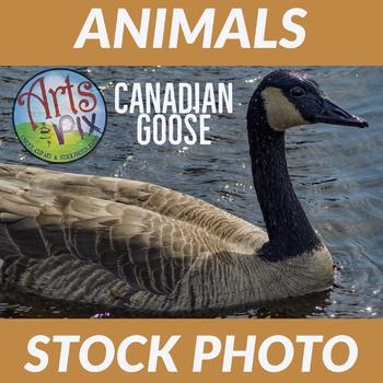 """Stock Photo - """"BIRD: Canadian GOOSE"""" - Photograph - Arts & Pix"""