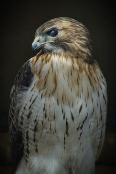 "Stock Photo -  ""BIRD: Red-Tailed HAWK"" - Photograph - Arts & Pix"