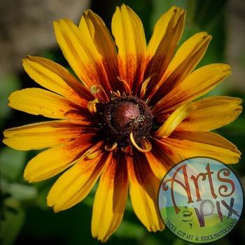 """Black Eyed Susan"" Stock Photo - Flower - CloseUP"