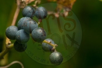 """! """"Concord GRAPES on the Vine"""" - Photograph - GRAPES - Stock Photo"""