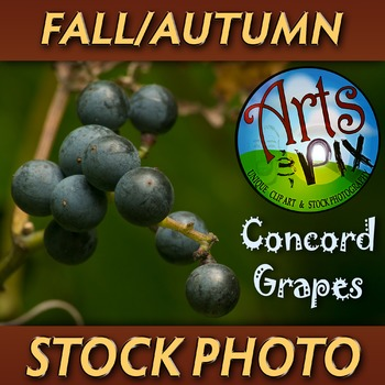 """Concord GRAPES on the Vine"" - Photograph - GRAPES - Stock Photo"