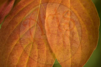 """FALL Dogwood leaves"" - Photograph - Fall Leaves - Stock Photo"
