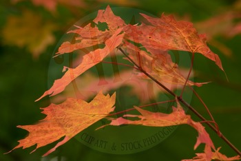 """FALL leaves: Sugar Maple Tree 2"" - Photograph - Fall Leaves - Stock Photo"