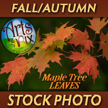 """FALL leaves: Sugar Maple Tree 3"" - Photograph - Fall Leaves - Stock Photo"
