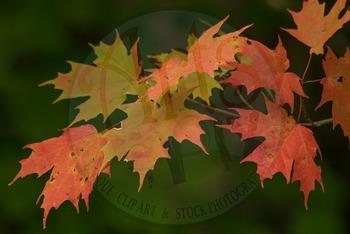 """FALL leaves: Sugar Maple Tree 3"" - Photograph - Fall Leaves - Stock Photo"