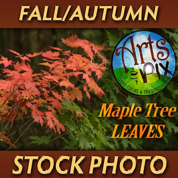 """FALL leaves from a Sugar Maple Tree"" - Photograph - Fall Leaves - Stock Photo"