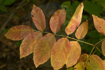 """""""FALL leaves from an Ash Tree"""" - Photograph - Fall Leaves - Stock Photo"""