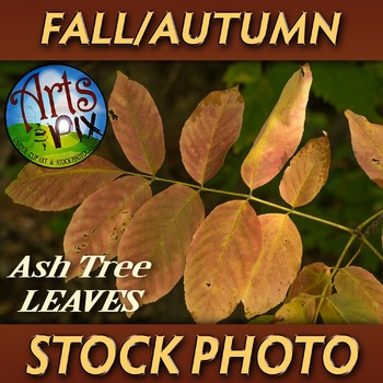 "! ""FALL leaves from an Ash Tree"" - Photograph - Fall Leave"