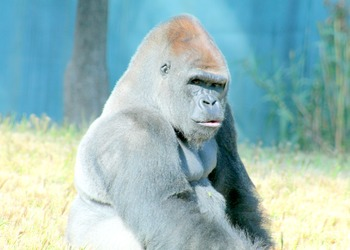 """Gorilla"" - Stock Photos - Photo Pack Bundle - animals"
