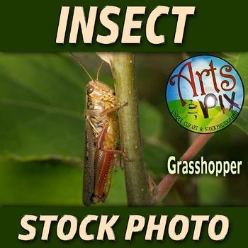 """Grasshopper"" - Insect - Stock Photo - Macro CloseUP - Photograph"