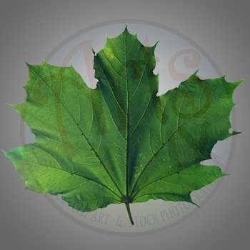 """""""Maple Leaf"""" Clipart Stock Photo of a green Maple Leaf"""