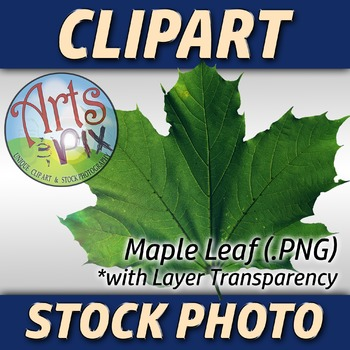 "! ""Maple Leaf"" Clipart Stock Photo of a green Maple Leaf"