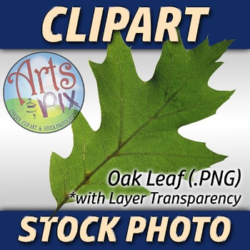 "! ""Oak Leaf"" Clipart Stock Photo of a green Oak Leaf"
