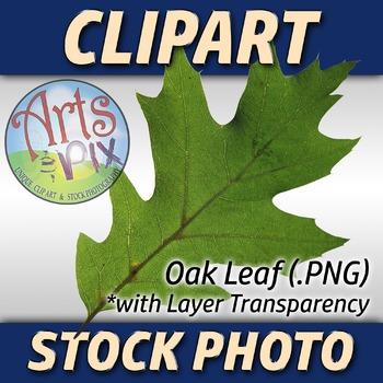"! ""Oak Leaf"" Clipart Stock Photo of a green Oak Leaf"