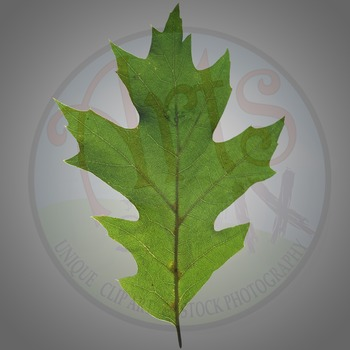 """Oak Leaf"" Clipart Stock Photo of a green Oak Leaf"
