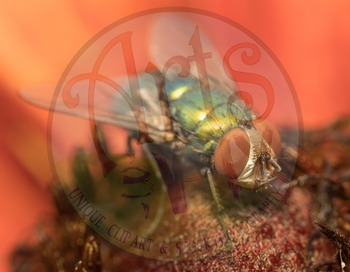 """""""FLY"""" - stock photo - insect - Fly - macro close up - Photograph"""