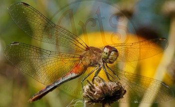 """""""Photograph"""" Red Dragonfly - Insect - Stock Photo - Macro CloseUP"""