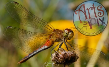 """! """"Photograph"""" Red Dragonfly - Insect - Stock Photo - Macr"""