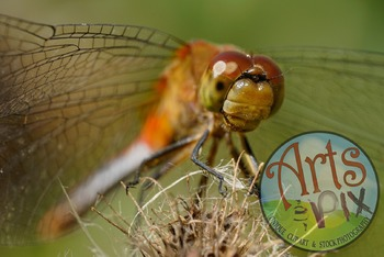 """""""Red Dragonfly"""" - Insect - Stock Photo -Macro CloseUP"""