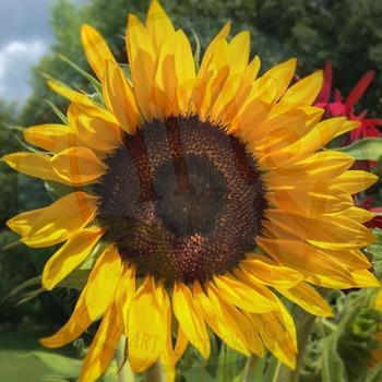 "! ""Sunflower"" - Photograph - Sunflower Background - Stock Photo - Close UP"