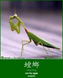 螳螂 - Táng láng - Mantis
