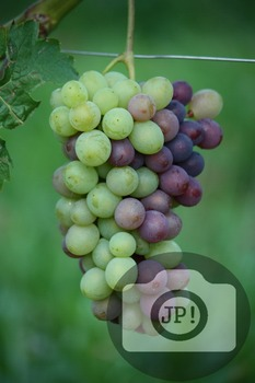 106 - GRAPES - Barbera grapes in the process of change color [By Just Photos!]