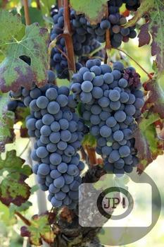 107 - GRAPES - Barbera grapes [By Just Photos!]