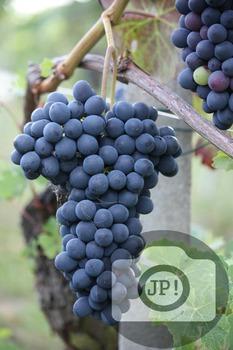 108 - GRAPES - Barbera grapes [By Just Photos!]