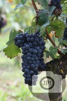 110 - GRAPES - Barbera grapes [By Just Photos!]