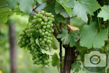 111 - GRAPES - Chardonnay grapes [By Just Photos!]