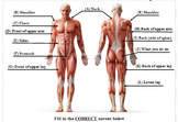 12 Major Muscle Group Quiz 3rd-12th Grade