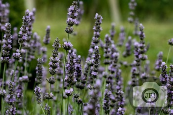 126 - FLOWERS - Lavender [By Just Photos!]