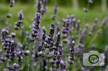 127 - FLOWERS - Lavender [By Just Photos!]