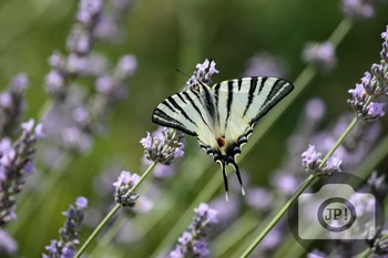 129 - INSECT - butterfly [By Just Photos!]