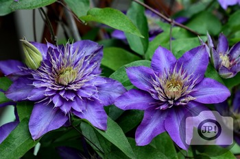 138 - FLOWERS - Clematis  [By Just Photos!]