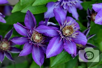 139 - FLOWERS - Clematis  [By Just Photos!]