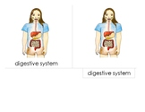 14 cm Montessori 3-Part Scientific Nomenclature Cards:  Digestive System