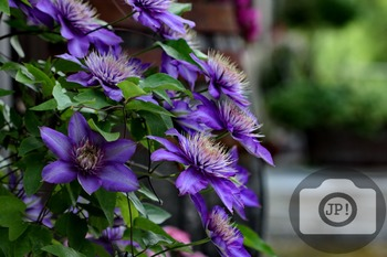 142 - FLOWERS - Clematis  [By Just Photos!]