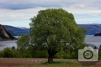 143 - NATURE - NORWAY Tree[By Just Photos!]