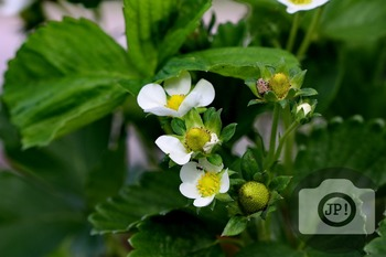 152 - VEGETABLES, STRAWBERRY FLOWERS [By Just Photos!]