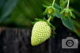 153 - VEGETABLES, STRAWBERRY [By Just Photos!]