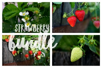 157 - VEGETABLES, 8 photos - STRAWBERRY CYCLE [By Just Photos!]