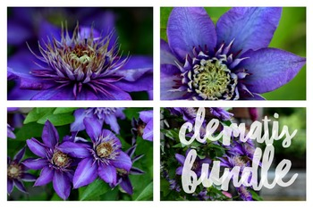 160 - FLOWERS - 7 photos - Clematis  [By Just Photos!]