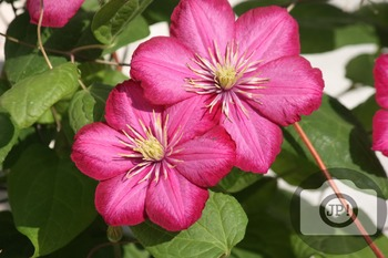 162 - FLOWERS - Clematis  [By Just Photos!]