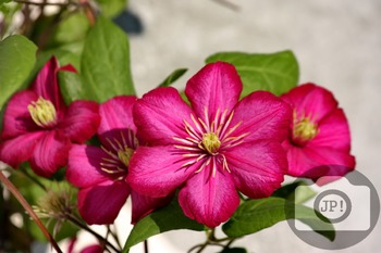 163 - FLOWERS - Clematis  [By Just Photos!]
