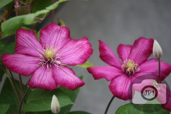 165 - FLOWERS - Clematis  [By Just Photos!]