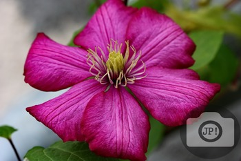 166 - FLOWERS - Clematis  [By Just Photos!]